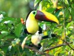Toucans are a regular sight and sound in the neighborhood.
