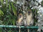 Bajan Green Monkeys in the neighbourhood