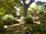 Monterey pine in front yard
