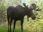 Our guest...a Moose! He is just hanging out in our backyard.