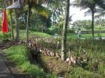 Our quacky neighbors help the farmers with rice harvest