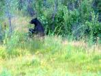 Yellowstone Black Bear, don't get too close!