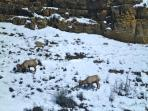 Big horn sheep are often viewed between Yankee Jim Canyon and Gardner.
