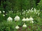 Bear Grass on the property.