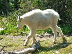 Mountain Goat in Glacier National Park.