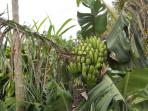 Bananas growing in the garden.