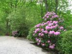 Rhododendrons bloom in May and June.