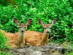 You may see a deer or two while walking around the island (1 1/4 miles)