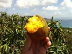 Pick a mango right off the porch deck