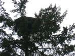 Bald eagle fledglings