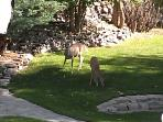 always deer in the yard