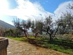 Olive groves in the garden.
