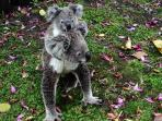 One of our cuddly Koalas