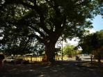 A full-grown Guanacste tree in the center of Coco village beside the soccer field
