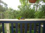 Lorikeets feeding on back deck