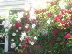 Roses in common area in June