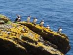 Cute Puffin birds abound on the Skellig during the summer months