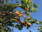 Apricots (June and early July)