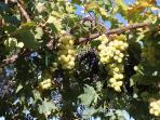 black,white grapes  (July to November)