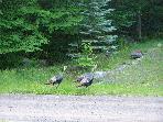 Wild Turkeys in Arrowhead Lake