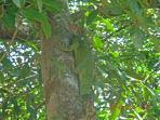 Local Wildlife - Iguana