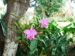 orchids in mango trees in backyard