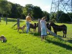 Guests feeding our 'little' horses