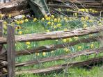 Visit Daffodil Hill in the Spring