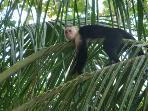 White Face Monkey in Garden