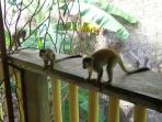Squirrel Monkeys visiting the terrace