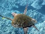 Turtle Flying in Ocean Near Kahalu'u Beach Park
