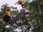 The Hornbills