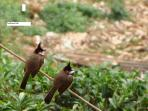 Red Whiskered Bbulbul