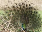 The  Peacoks dance / call to mate