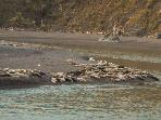 Estuary: Harbor seals on Goat Rock Beach and mouth of Russian River