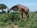 Safari in Kenia Tsavo Ost