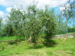 old olive tree in the garden