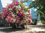 Bouganvillea tree on compound