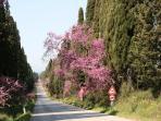 Bolgheri avenue