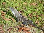 Iguana forages for food in the garden