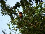 A rare visit from a toucan (collared araceri)