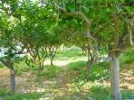 The garden with lemon trees