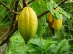 Cacao (raw chocolate) Fruit.  We have an abundance of cacao trees in the park