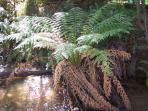 Tree Fern Lyrebird walk