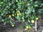 Grapefruit, Lemon, Orange, Tangelo, Banana trees abound--guests welcome to enjoy!