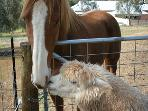 Resident Animals Macca an ex race horse and Manuel the Alpaca