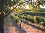 Summer dawn over the Grey Hare vineyard