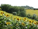 Our Sunflowers
