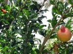 Pomegranates (Rimonim) on our Tree - We have Dates, Oranges, Loquats and Grapefruits too!