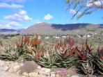 Aloes and View overlooking village of Prince Albert and Swartberg Mountains